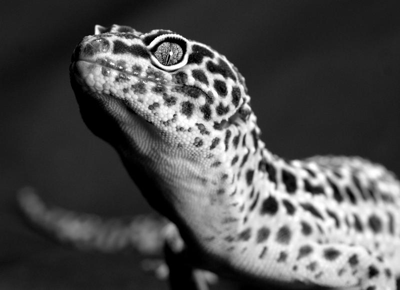 Leopard Gecko; DISPLAY FULL IMAGE.