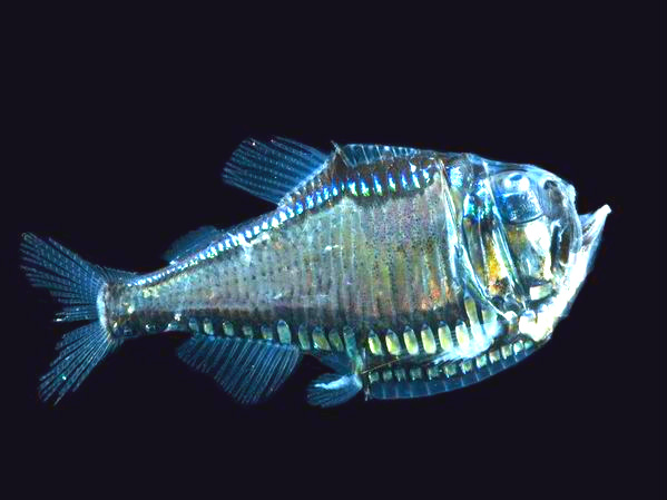 Giant Hatchetfish (Argyropelecus gigas); Image ONLY