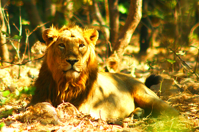 Lion (Panthera leo); Image ONLY