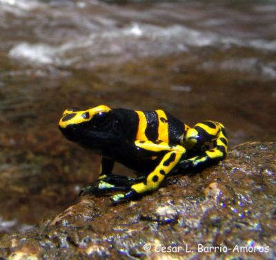 Froggy Fitness: Toxic Species Prove Most Athletic [LiveScience 2011-03-29]; Image ONLY