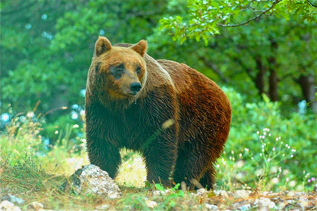 Brown bear (Ursus arctos); Image ONLY
