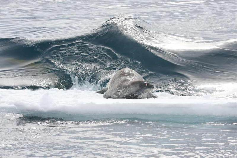 Killer Whales Make Killer Waves to Take Down Seals [LiveScience 2011-03-31]; DISPLAY FULL IMAGE.