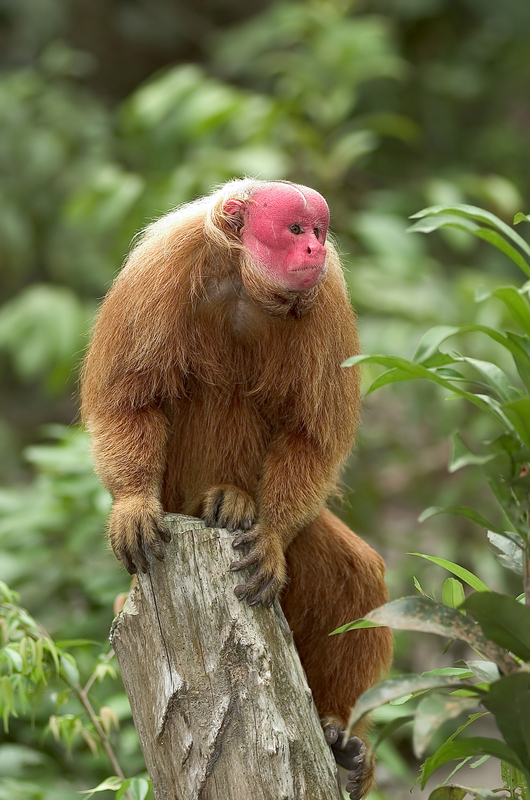 The 500 Cutest Animals - 500. Red Uakari [LiveScience 2011-04-01]; Image ONLY