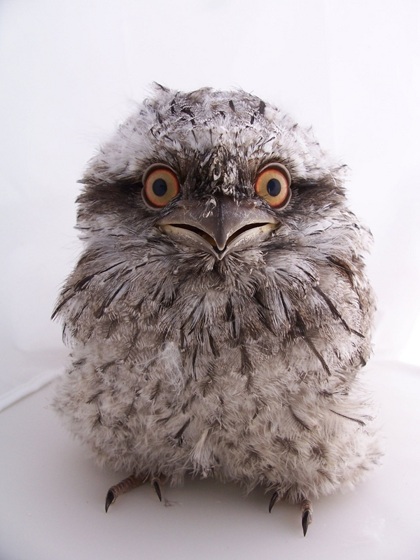 The 500 Cutest Animals - 413. Tawny Frogmouth [LiveScience 2011-04-01]; Image ONLY