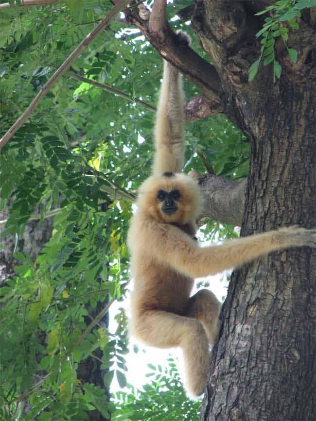 The 500 Cutest Animals - 207. Gibbon [LiveScience 2011-04-01]; Image ONLY