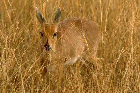 The 500 Cutest Animals - 46. Oribi [LiveScience 2011-04-01]; Image ONLY