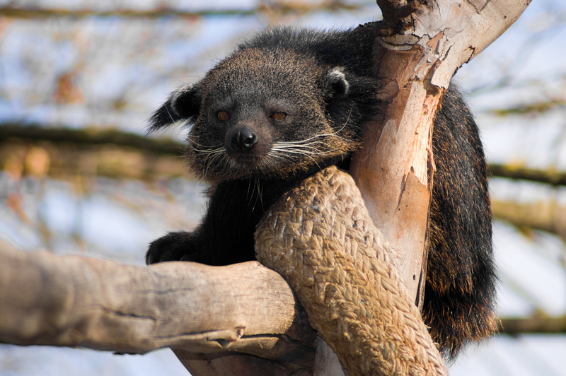 The 500 Cutest Animals - 11. Binturong aka Bearcat [LiveScience 2011-04-01]; Image ONLY