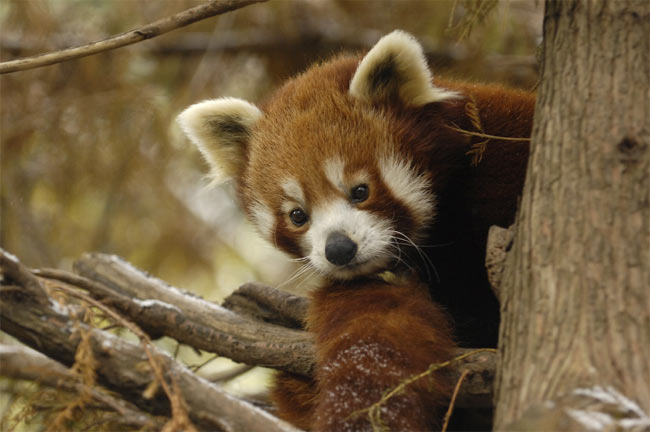 The 500 Cutest Animals - 8. Red Panda aka Firefox [LiveScience 2011-04-01]; Image ONLY