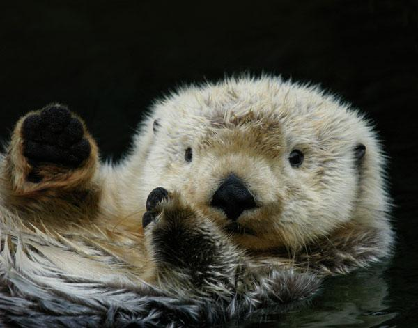 The 500 Cutest Animals - 1. Sea Otter [LiveScience 2011-04-01]; Image ONLY
