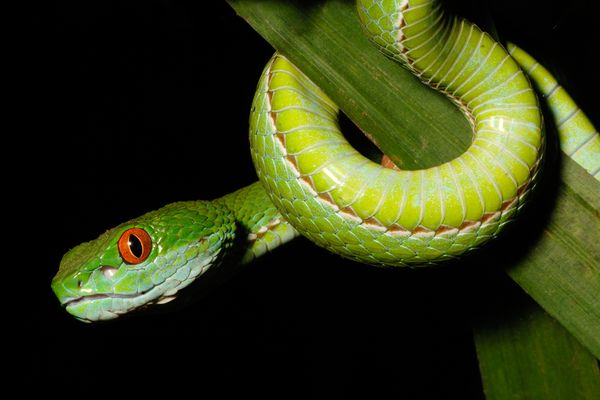 New Ruby-Eyed Pit Viper Discovered [NationalGeographic 2011-03-28]; Image ONLY