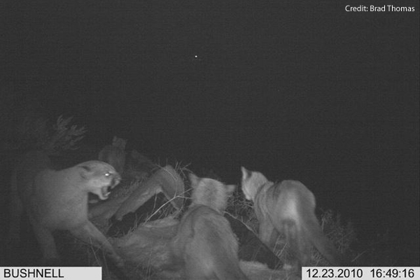 Rare Cougar Family Reunion Caught On Camera [LiveScience 2011-04-06]; Image ONLY
