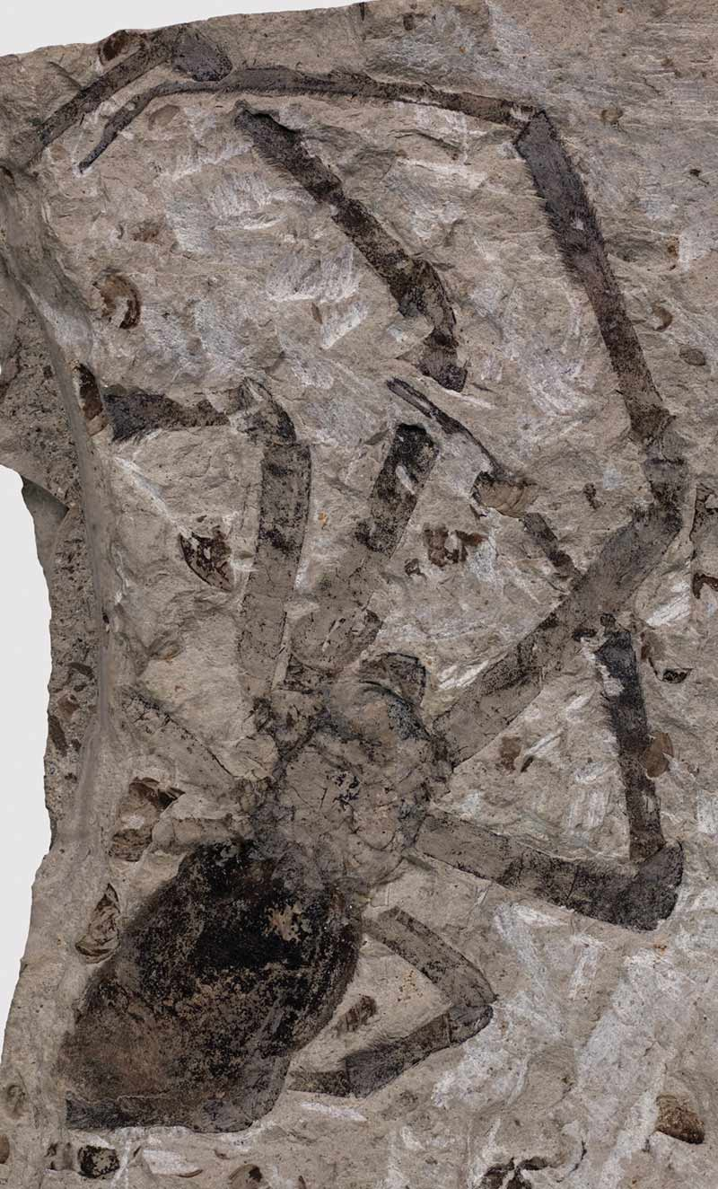 Largest Fossil Spider Found in Volcanic Ash [LiveScience 2011-04-19]; Image ONLY