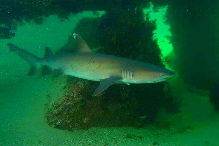 Whitetip reef shark (Triaenodon obesus); Image ONLY
