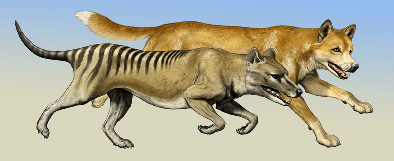 Dingoes Didn't Run Tasmanian Tigers Out of Australia [LiveScience 2011-05-03]; DISPLAY FULL IMAGE.