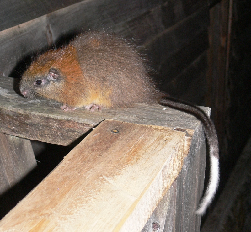 SPECTACULAR MAMMAL REDISCOVERED AFTER 113 YEARS! -Red-crested Tree Rat (Santamartamys rufodorsalis) [ProAves 2011-05-18]; DISPLAY FULL IMAGE.