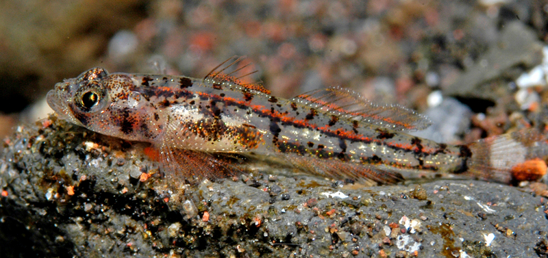 Bali's Incredible Diversity - Grallenia, a new goby [LiveScience 2011-05-16]; DISPLAY FULL IMAGE.
