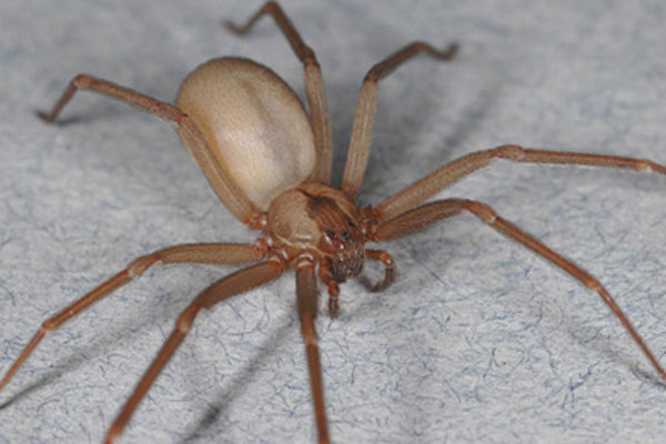 Spooky Spiders: Brown Recluse Spider (Loxosceles reclusa) [LiveScience 2011-05-20]; Image ONLY