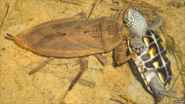 Giant water bug photographed devouring baby turtle [BBC 2011-05-26]; Image ONLY