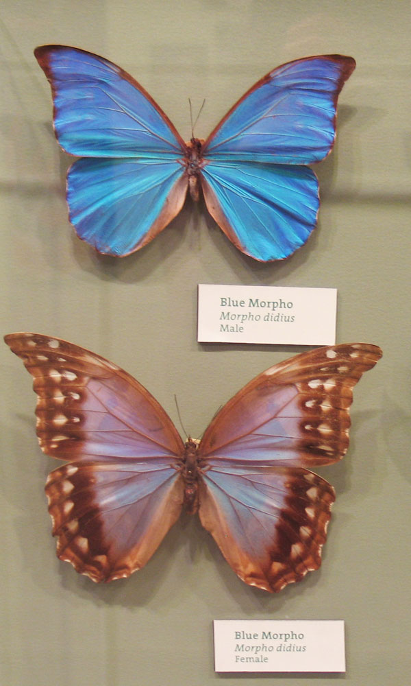 Stunning She-Males of the Animal World - Blue Morpho Butterfly (Morpho didius) [LiveScience 2011-05-31]; Image ONLY
