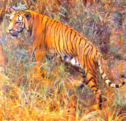 Tiger (Panthera tigris); Image ONLY