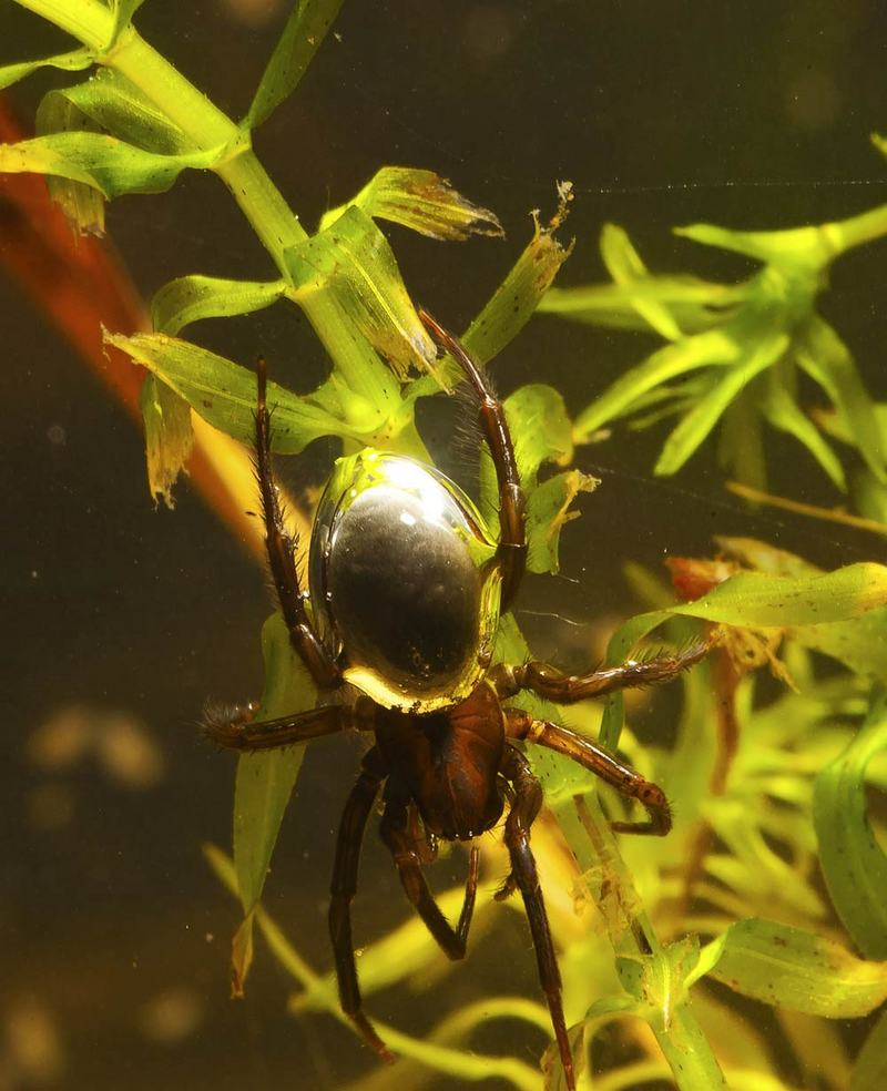 Underwater Gallery: Diving Spiders - Diving bell spider / Water spider (Argyroneta aquatica) [LiveScience 2011-06-09]; DISPLAY FULL IMAGE.