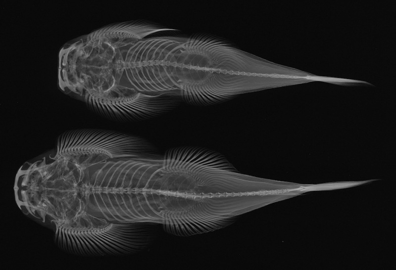 Stunning Fish X-rays: Torrent Loach (Homaloptera bilineata) [LiveScience 2011-06-13]; DISPLAY FULL IMAGE.