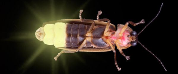 Eye-Catching Bioluminescent Wonders - Firefly  [LiveScience 2011-07-08]; Image ONLY