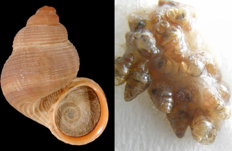 Snails Survive Being Eaten and Excreted by Birds [LiveScience 2011-07-17]; Image ONLY