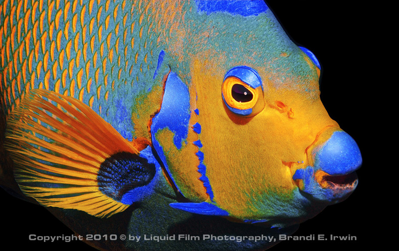 Gallery of Glowing Sea Creatures - Queen Angelfish (Holacanthus ciliaris) [LiveScience 2011-07-20]; DISPLAY FULL IMAGE.
