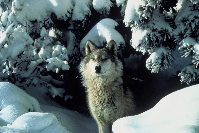 My, What Big Teeth: Wolves Gallery - Surrounded by Snow [LiveScience 2011-07-21]; DISPLAY FULL IMAGE.