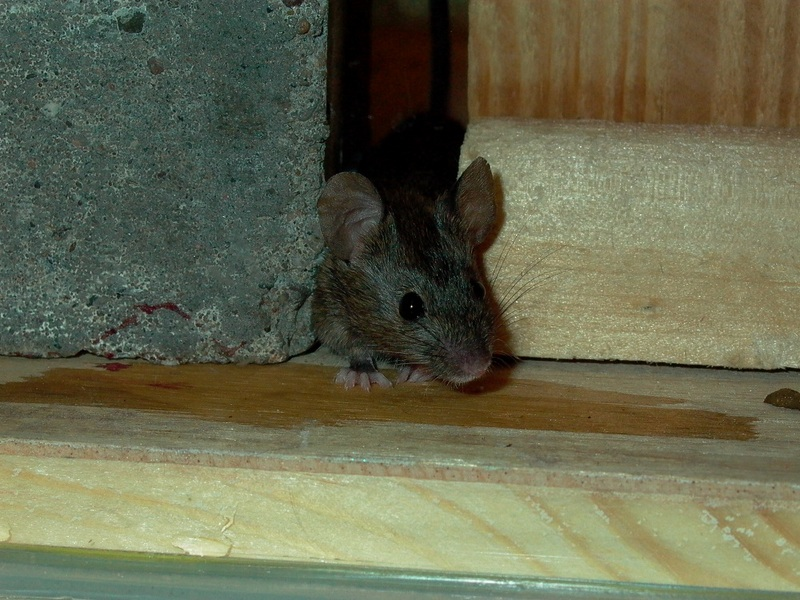 Freaky Mutant Mouse Steals Genes to Resist Poison [LiveScience 2011-07-21]; DISPLAY FULL IMAGE.