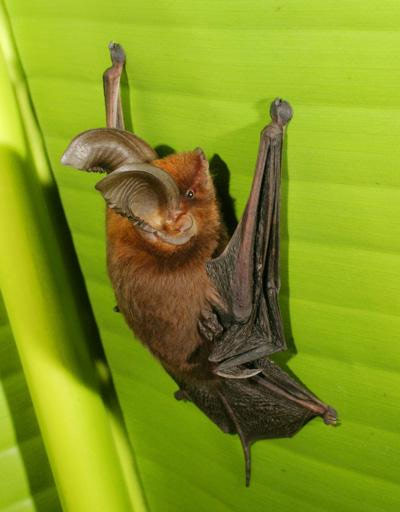 Flying Mammals: Gallery of Spooky Bats - Madagascar Sucker-footed Bat (Myzopoda aurita) [LiveScience 2011-08-03]; Image ONLY