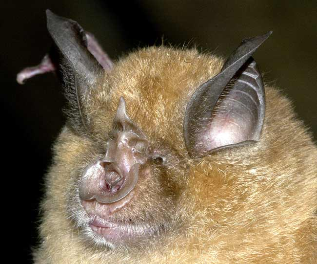 Flying Mammals: Gallery of Spooky Bats - Greater Horseshoe Bat (Rhinolophus ferrumequinum) [LiveScience 2011-08-03]; Image ONLY