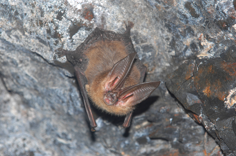 Flying Mammals: Gallery of Spooky Bats - Townsend's Big-Eared Bat (Corynorhinus townsendii) [LiveScience 2011-08-03]; Image ONLY
