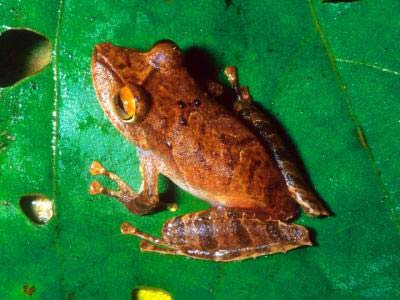 Freaky Frog Photos: New frog species, Pristimantis educatoris [LiveScience 2011-08-10]; Image ONLY