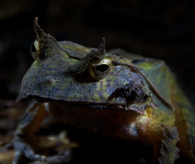 Freaky Frog Photos: Solomon Island Eyelash Frog, Solomon's Horned Frog (Ceratobatrachus guentheri) [LiveScience 2011-08-10]; DISPLAY FULL IMAGE.