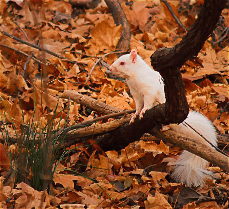 Pink and White Album: Amazing Albino Animals - Albino Squirrel [LiveScience 2011-08-16]; DISPLAY FULL IMAGE.