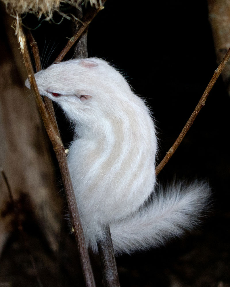 Pink and White Album: Amazing Albino Animals - Albino Chipmunk [LiveScience 2011-08-16]; Image ONLY