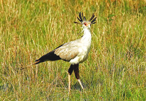 Secretary bird; Image ONLY
