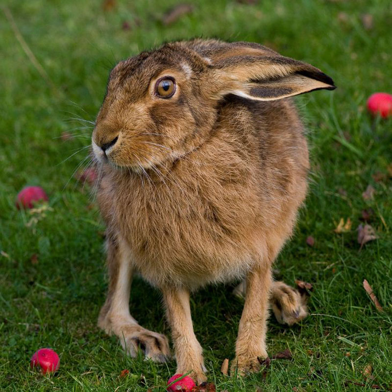 Look Quick: Gallery of the Fastest Beasts on Land - Brown Hare (Lepus capensis) [LiveScience 2011-08-22]; Image ONLY