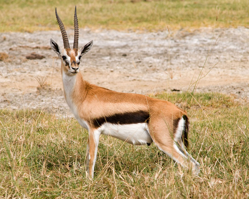 Look Quick: Gallery of the Fastest Beasts on Land - Thomson's Gazelle (Eudorcas thomsonii) [LiveScience 2011-08-22]; DISPLAY FULL IMAGE.