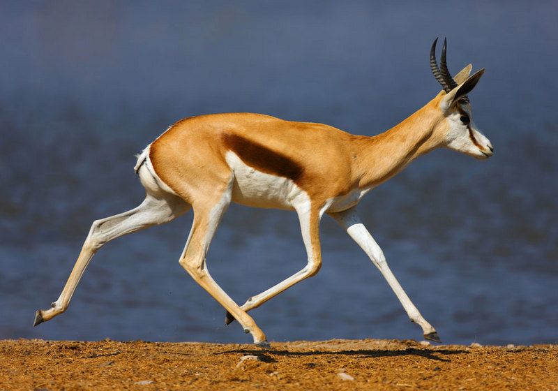 Look Quick: Gallery of the Fastest Beasts on Land - Springbok (Antidorcas marsupialis) [LiveScience 2011-08-22]; DISPLAY FULL IMAGE.