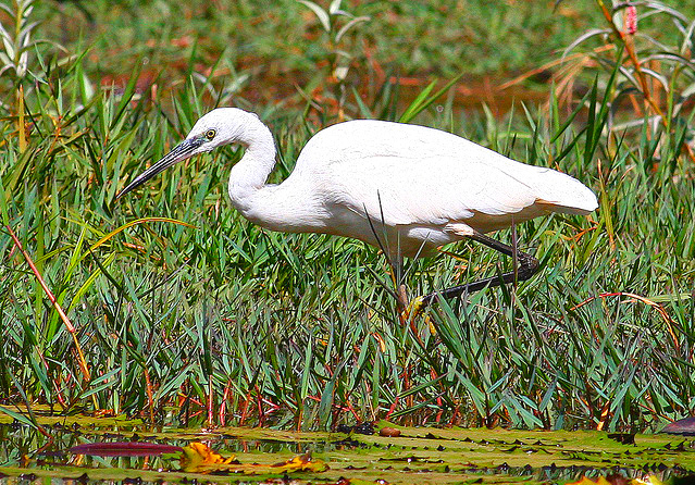 Little Egret (Egretta garzetta); Image ONLY