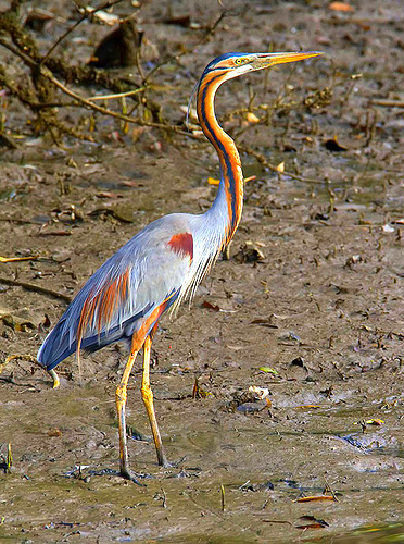 Purple heron (Ardea purpurea); Image ONLY