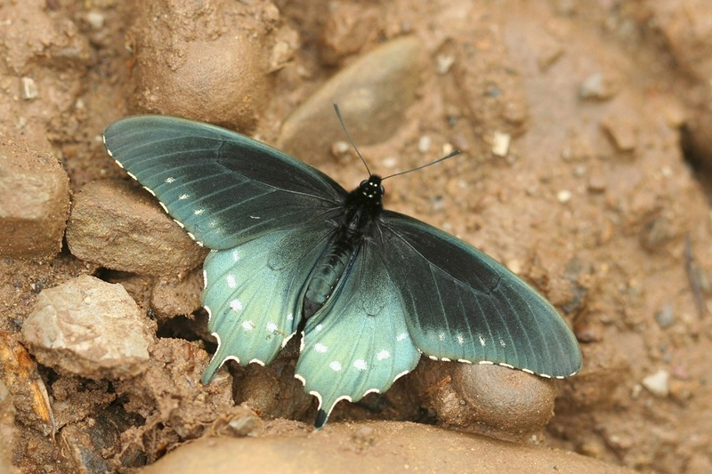 Common Butterfly Is Hybrid of Two Species [LiveScience 2011-09-14]; DISPLAY FULL IMAGE.