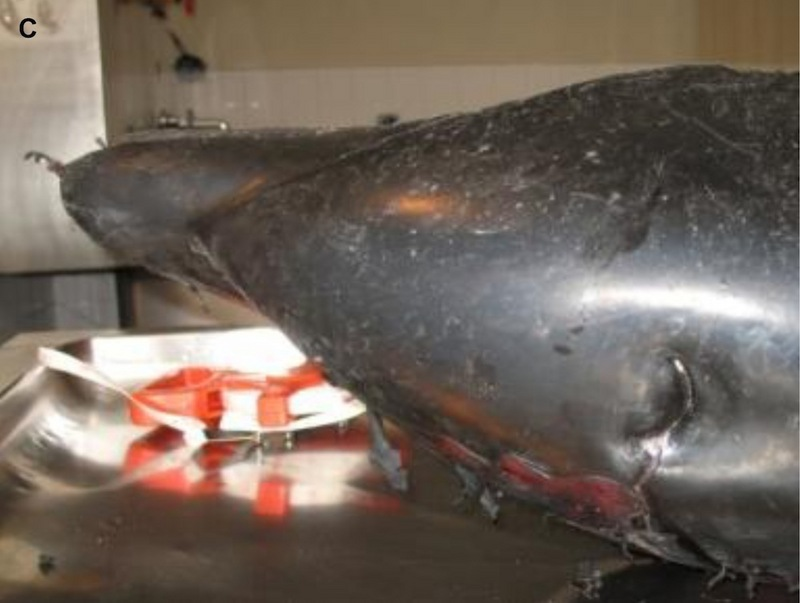 New Dolphin Species May Already Be at Risk [LiveScience 2011-09-19]; DISPLAY FULL IMAGE.