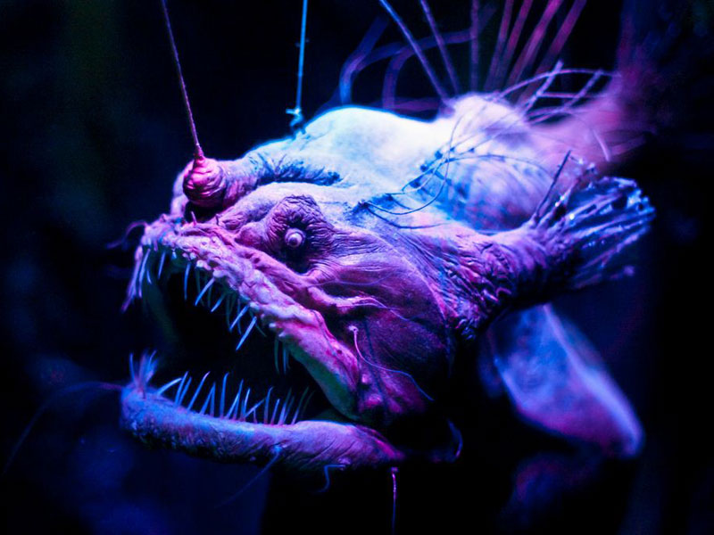 In Photos: Spooky Deep-Sea Creatures - Anglerfish [LiveScience 2011-09-26]; Image ONLY