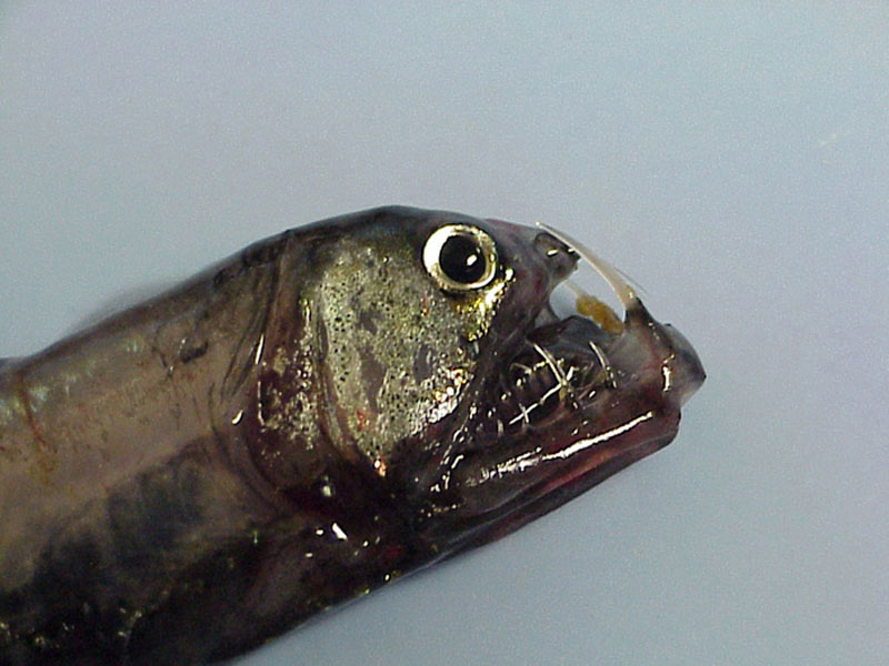 In Photos: Spooky Deep-Sea Creatures - Saber-Toothed Viperfish [LiveScience 2011-09-26]; Image ONLY
