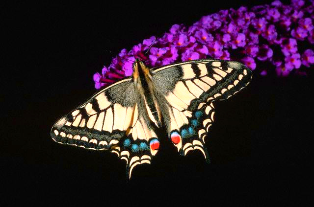 European swallowtail (Papilio machaon); Image ONLY