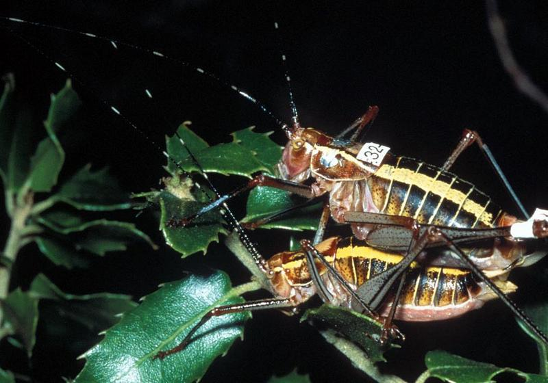 The Way to a Female Katydid's Heart? Offer Her Food [LiveScience 2011-09-27]; DISPLAY FULL IMAGE.